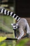 Lemur na ciasnej arkanie Obrazy Stock