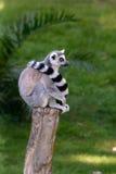 Lemur na drewnie fotografia stock