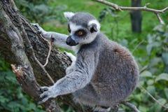 Lemur na drzewie fotografia stock