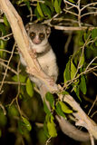 Lemur nano a coda adiposa fotografie stock