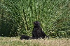 Lemur negro foto de archivo