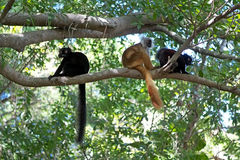 Lemur negro (macaco de Eulemur) Imagen de archivo