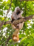 Lemur in Nosy Be, Madagascar Stock Photos