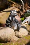 Lemur_nu et quoi de plus Photographie stock libre de droits