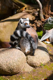 Lemur_nu and whatever else. Lemur sitting on the stones and looking away Royalty Free Stock Photography
