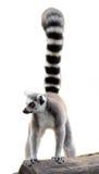 Lemur odizolowywający Zdjęcia Royalty Free
