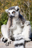 Lemur odpoczywa na gałąź Obrazy Stock