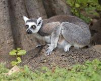 Lemur Ogoniasty Fotografia Royalty Free