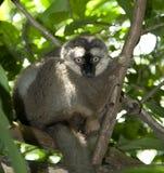 Lemur olhar fixamente Imagens de Stock Royalty Free