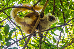 Lemur On Lokobe Strict Reserve In Nosy Be, Madagascar Stock Photography