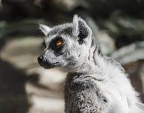Lemur with orange eyes Royalty Free Stock Photos