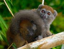 lemur oriental en bambou moins Photos libres de droits
