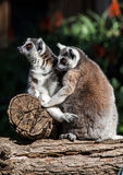 Lemur Stock Photos