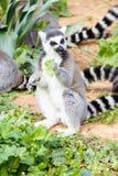 Lemur in the pasture, Ring-tailed Lemur. (Lemur-catt Stock Photos