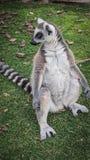 Lemur patrzeje horyzontu obsiadanie lubi Buddha obrazy royalty free