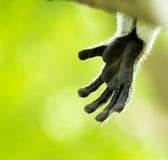 Lemur paw. Proximity of the monkey's paw Stock Photography