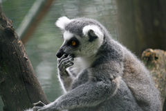 Lemur pensive with his paw on the muzzle Royalty Free Stock Photography