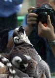 Lemur and photographer. Illustration to magazine about animals. The lemur poses for the photographer Stock Photography