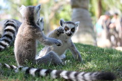 Lemur play. Lemur baby play with in the group Stock Images