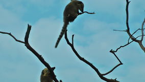 Lemur playing in  the tree with blue sky on the background. Lemur playing in the tree with blue sky on the background, video footage stock video footage