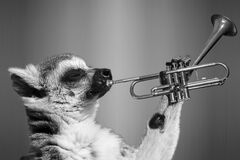 Lemur playing trumpet Royalty Free Stock Photography