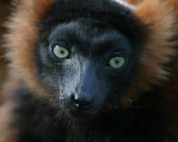 Lemur portrait. Portrait of cute lemur with brown fur royalty free stock photo