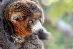 Lemur Royalty Free Stock Image