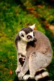 Lemur portrait. Close up portrait of Ring Tailed Lemur and his youngly Stock Image