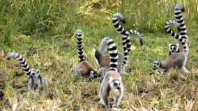 Lemur portrait. Close Up portrait Of Ring Tailed Lemur in Madagascar Stock Photos