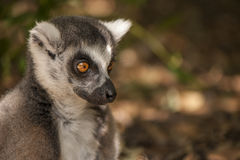 Lemur portrait Royalty Free Stock Photography