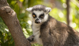 Lemur portrait Royalty Free Stock Photos