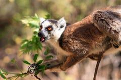 Lemur portrait. Ring-tailed Lemur (Lemur catta) in Isalo national park in Madagascar Royalty Free Stock Photo