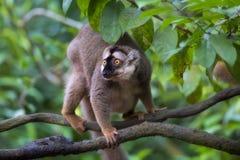 Lemur portrait Royalty Free Stock Images