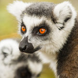 Lemur Stock Photography