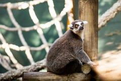 Lemur. Portrait of a lemur in a zoo Stock Photo