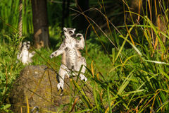Lemur in pose Royalty Free Stock Photography