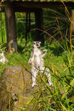 Lemur in pose on the rock Royalty Free Stock Photography