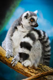 Lemur. A Lemur posing Royalty Free Stock Images