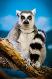 Lemur. A Lemur posing Stock Photography