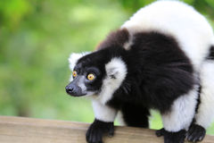 Lemur posing Royalty Free Stock Images
