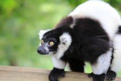 Lemur posing Royalty Free Stock Images