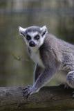 Lemur pozuje na beli Obraz Stock