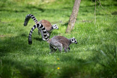 Lemur in Prague ZOO Royalty Free Stock Images
