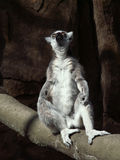 Lemur praying Royalty Free Stock Image