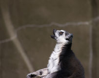 Lemur Praying imagem de stock