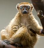Lemur preto 2 imagens de stock