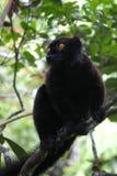 Lemur preto foto de stock
