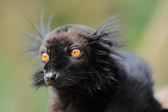Lemur preto Imagens de Stock Royalty Free