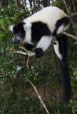 Lemur preto e branco de Ruffed Foto de Stock Royalty Free