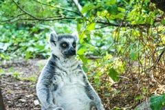 Lemur przy popołudniem Zdjęcia Stock